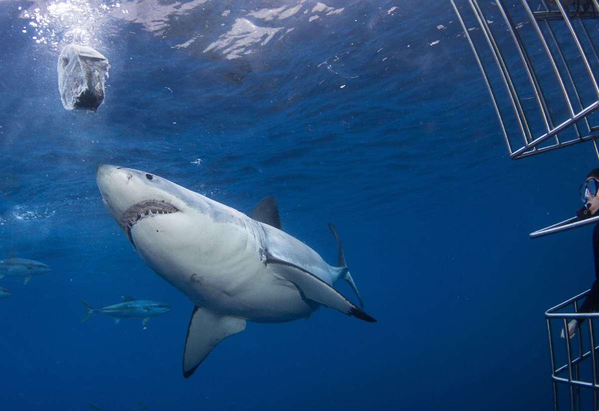 Avistamiento del gran tiburón blanco en Baja California.
