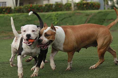 Son Los Chihuahua Y No Los Pitbull Los Perros Más Agresivos