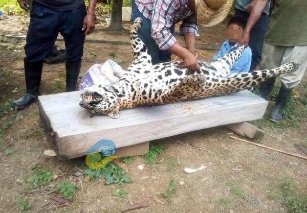 Asesinan a jaguar en Veracruz y presumen las fotos en redes