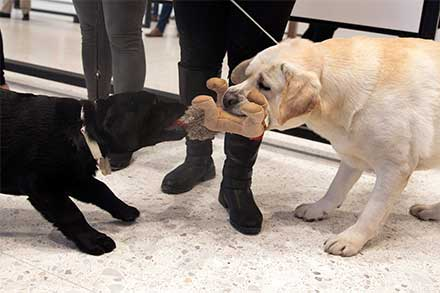 Dos perros labrador retriever mordisquean un juguete intentando arrebatarselo