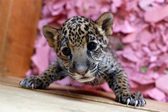 Pequeño jaguar en el zoo de Puebla en foto de archivo