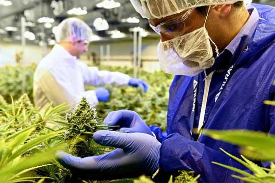 Científicos analizan la planta