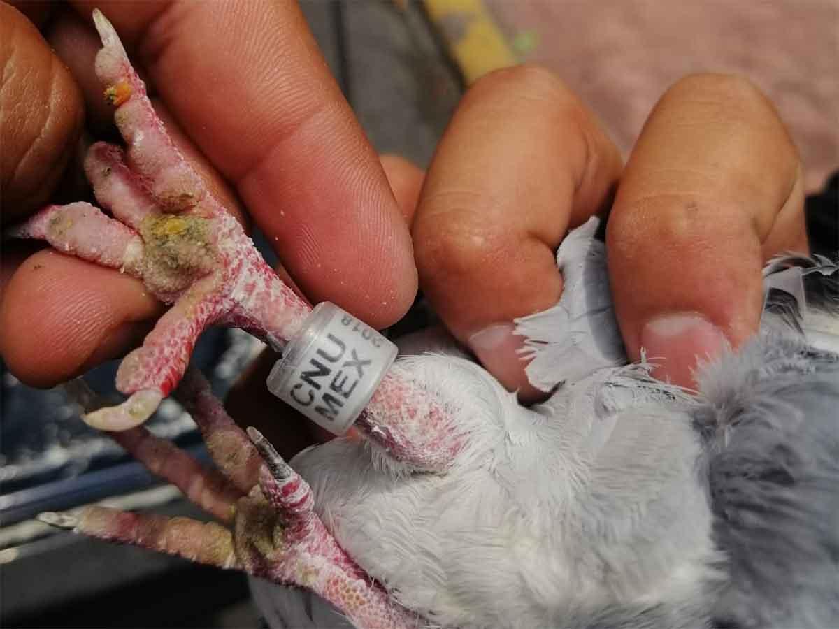 El ave lesionada portaba en una de sus patas un anillo de identificación con una leyenda.