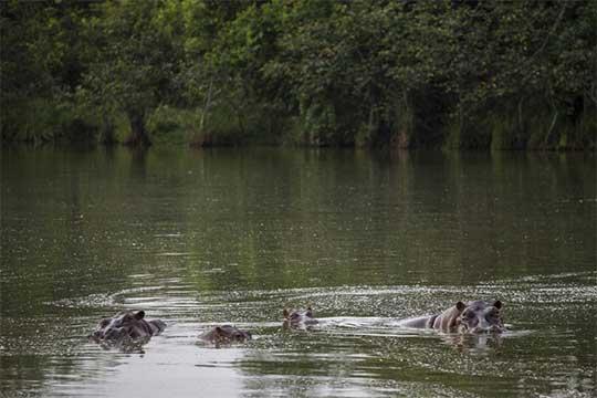 Hipopotamos en el río