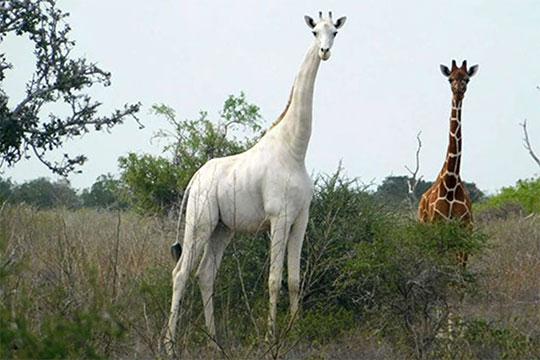 Cazadores matan a la única jirafa blanca y a su cría. Fotografías: AFP.