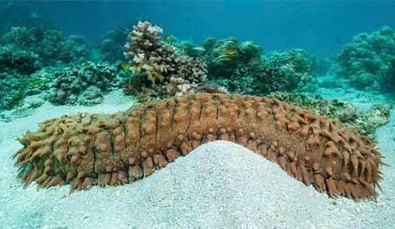 El Pepino de Mar verrugoso es una especie amenazada ante su pesca indiscriminada en aguas nacionales. Foto: Especial