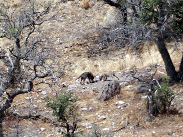 los cachorros son descendientes de la pareja liberada en diciembre de 2013 en la sierra madre occidental