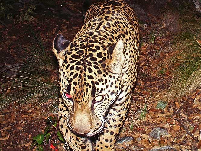 ESTADOS UNIDOS: Muestran video de �El Jefe�, �nico jaguar en libertad en EU