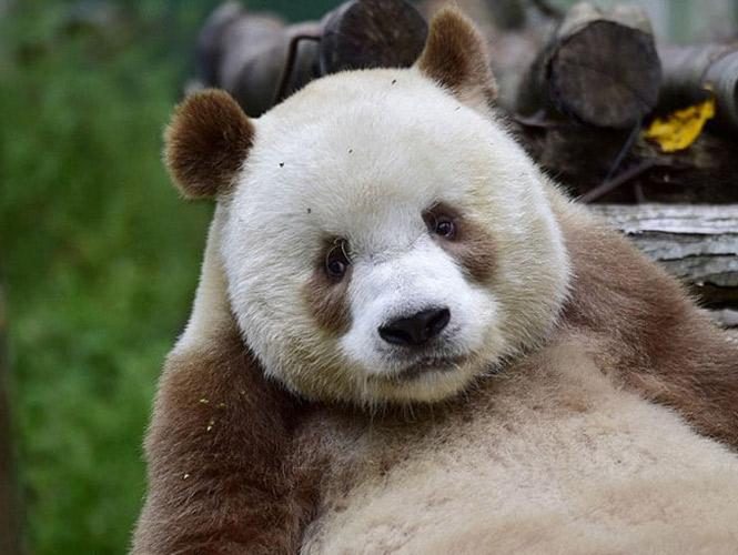La triste historia del único panda marrón del mundo