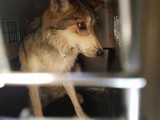 Lobo mexicano liberado en ciudad Juárez, Chiuahua.