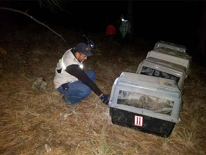 Momento de liberación del lobo mexicano.