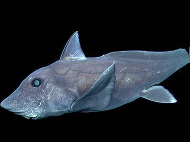 Captan por primera vez a tiburon fantasma en la naturaleza