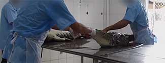 e14f4dc03 Matan cocodrilos para hacer bolsos Louis Vuitton, denuncia PETA