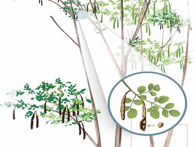 Las increibles virtudes de la Moringa, el árbol de la vida