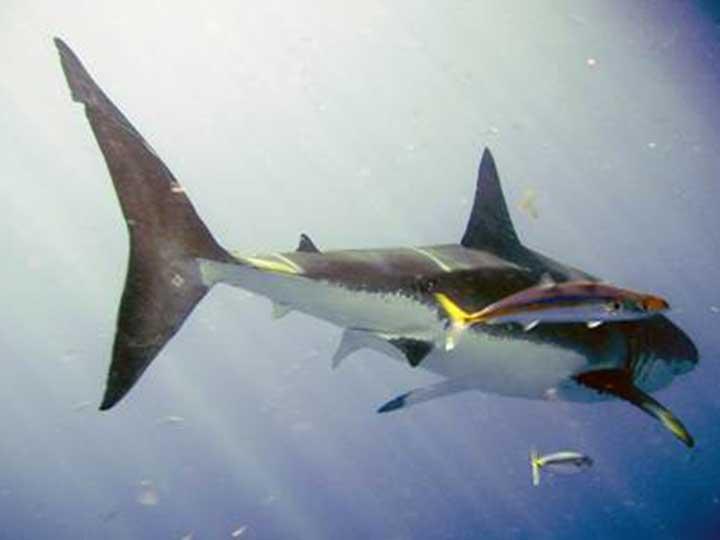 Inicia temporada de avistamiento de tiburón blanco en BC; lo protegen más