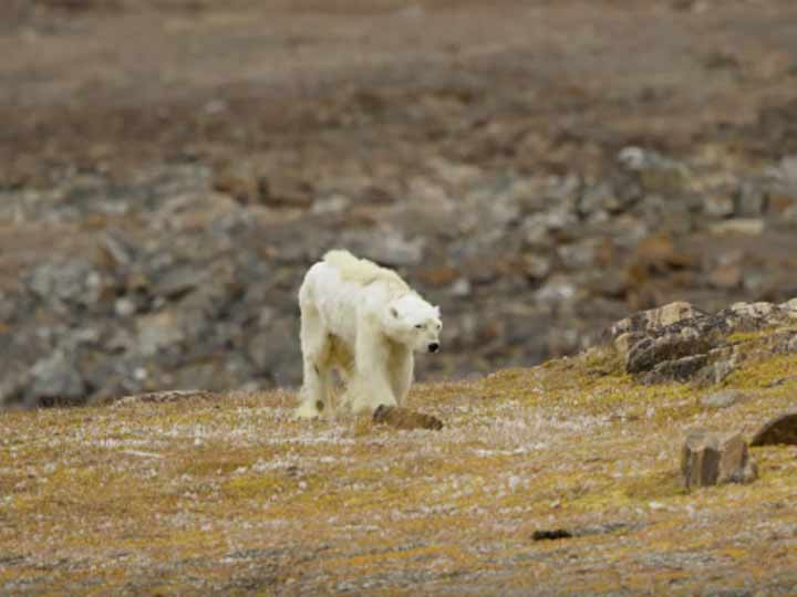 Oso polar moribundo por calentamiento global — Impactante
