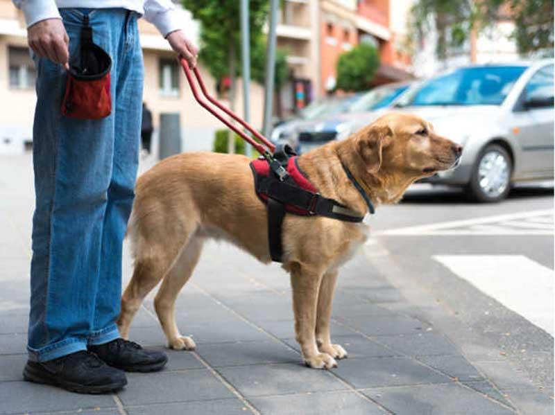 Estas Son Las 3 Cosas Que Debes Saber Sobre Los Perros Guía