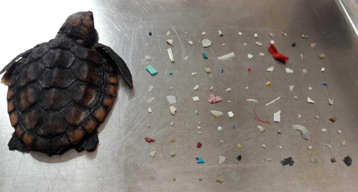 Tortuga marina muere con 104 piezas de plástico en sus intestinos