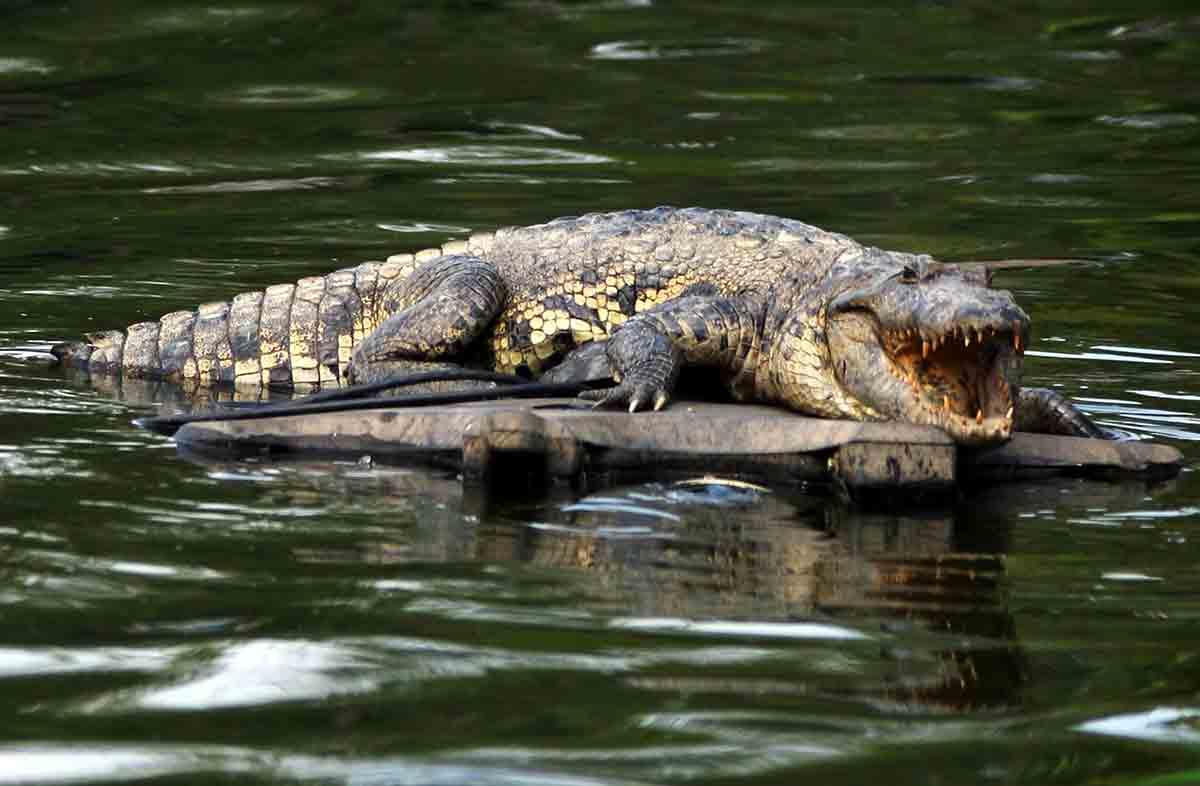 Pescador sobrevive a ataque de cocodrilo en Oaxaca