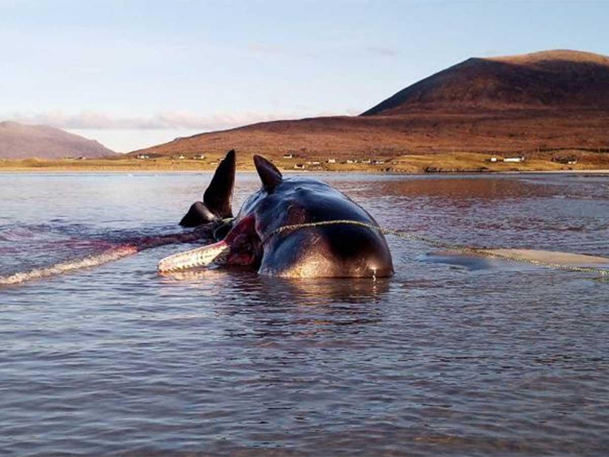 Encuentran un cachalote muerto con 100 kilos de basura en su estómago