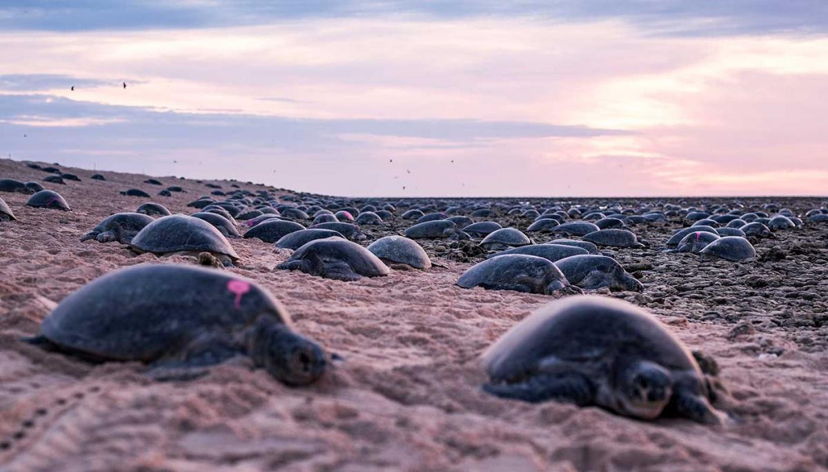 Más de 60 mil tortugas verdes nadando juntas en el mar