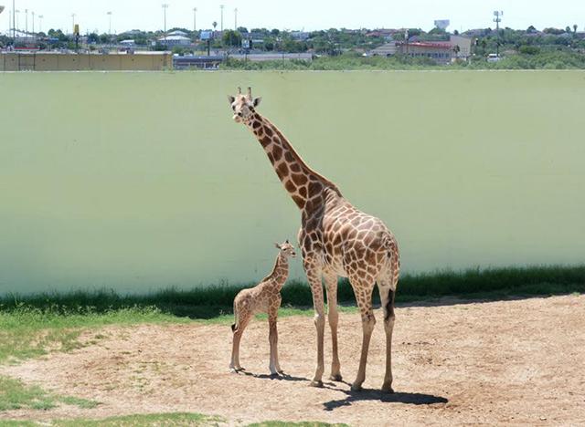 La jirafa midió 1.90 metros y pesó 48 kilogramos, nació el 31 de mayo y se encuentra en excelente estado de salud.