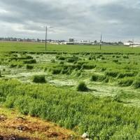 Descubren extrañas figuras en cultivos de Texcoco - Excélsior
