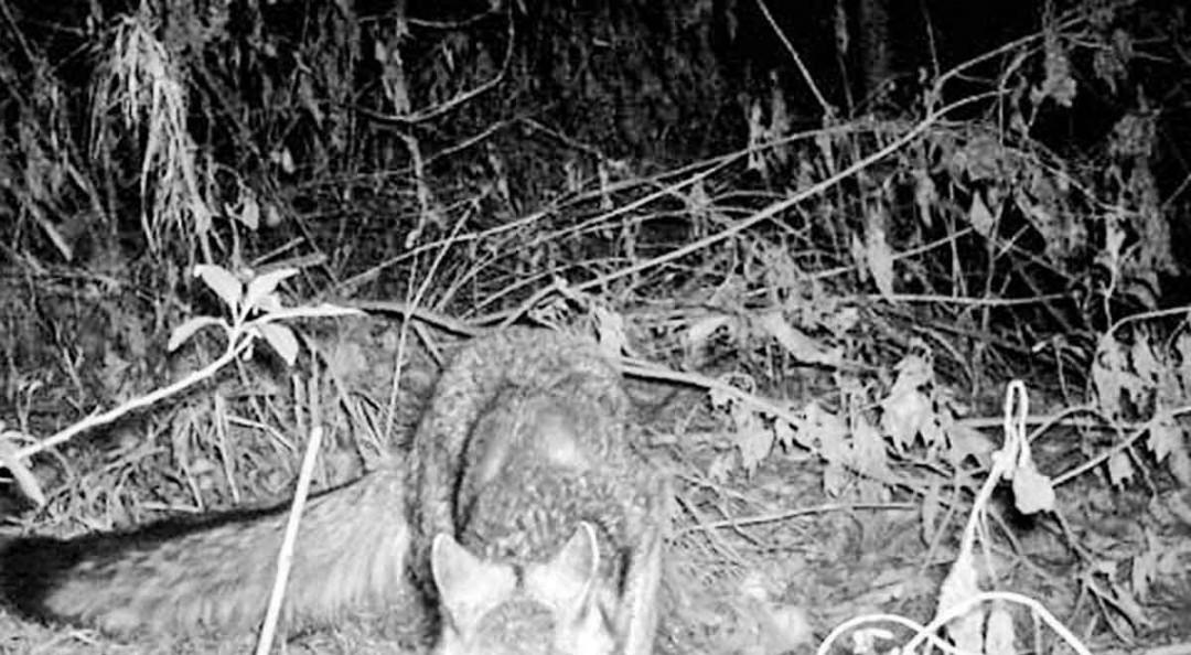 Linces, zorros y murciélagos, de regreso en la Ciudad de México