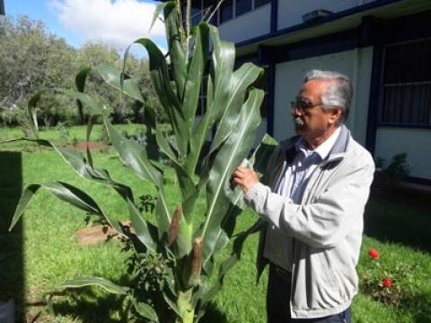 Científicos mexicanos crean 3 tipos de maíz tolerantes a la sequía
