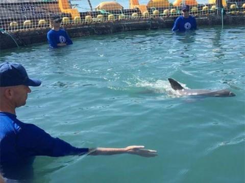 Clonación podría ser la última esperanza para la vaquita marina, quedan menos de 30 especies. Foto: Especial