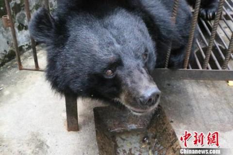 El 'perro' era en realidad un oso negro. Fotografía: China News