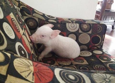 La adoptaron pesando menos de dos kilos. Fotografía: Esther The Wonder Pig