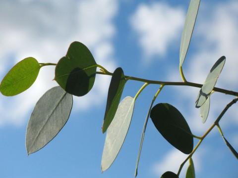 Planta de Eucalipto