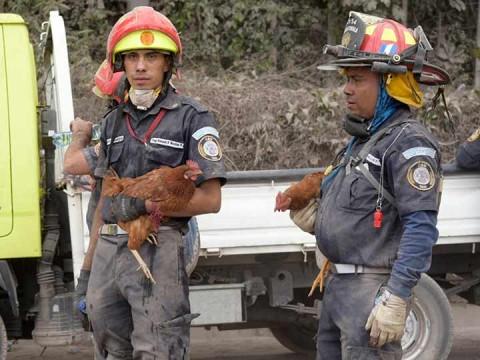 En Guatemala, los rescatistas tienen un consuelo, sonríen al ver a perros, patos, gallinas y a algunos gallos surgir de las cenizas (Foto: EFE)