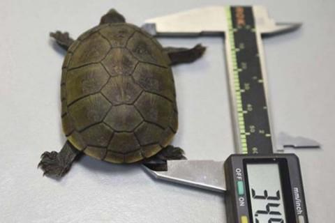 Descubre nueva especie de tortuga en Puerto Vallarta. Foto: EFE