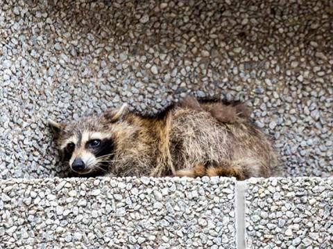 """Alguien abrió en Twitter una cuenta a nombre del mapache y uno de los tuits dice """"Cometí un grave error"""" (Foto: AP)"""