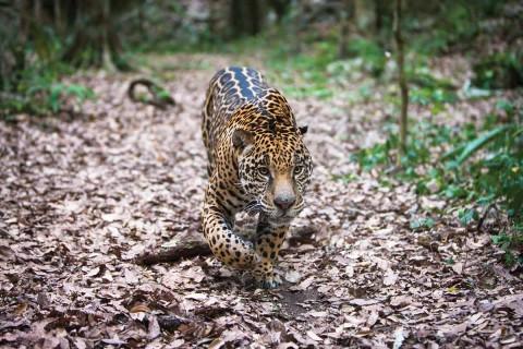 Crece población de jaguares en México…  aún sigue en peligro de extinción. Fotos: Cortesía WWF-Fundación Telmex Telcel
