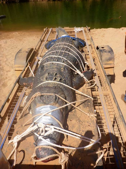 Capturan a un cocodrilo de 600 kilos en Australia