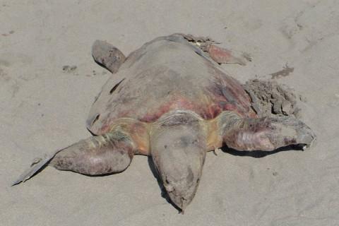 El 24 de julio pasado se tuvo conocimiento del primer evento de mortandad de tortugas marinas en el Santuario de Playas de Puerto Arista, con 26 ejemplares descubiertos en diversos estados de descomposición. Foto: Gaspar Romero/ Corresponsal
