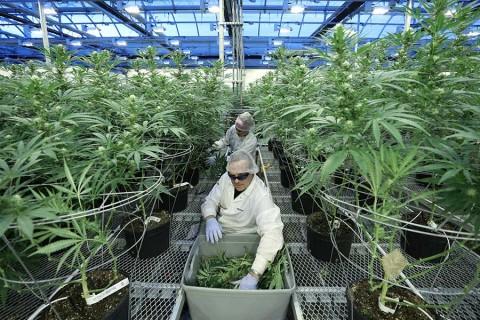 Así se prepara Canadá para legalizar la mariguana recreativa