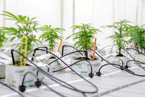 En Canadá dan curso universitario para cultivar mariguana