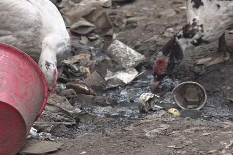 Sobre el piso de tierra hay restos de juguetes que se confunden con las plumas y el excremento de gallinas y patos que fueron abandonados en el lugar. Foto: José de Jesús Cortés/ Corresponsal