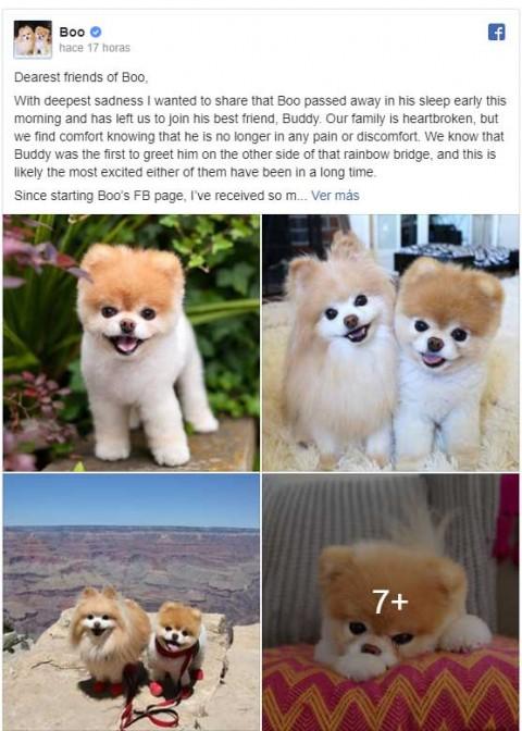 Muere Boo, el perro más lindo del mundo