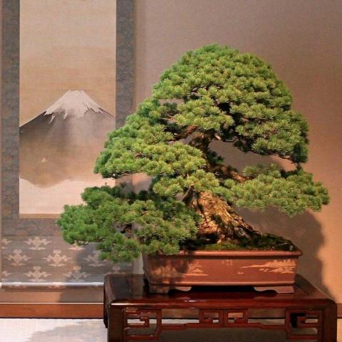 Roban invaluables bonsáis en Japón: 'por favor, cuídenlos'