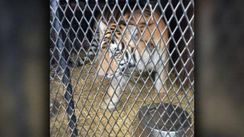 Entró a fumar mariguana a casa abandonada y acabó salvando a un tigre