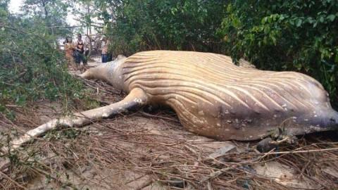 Encuentran una ballena jorobada en la selva del Amazonas