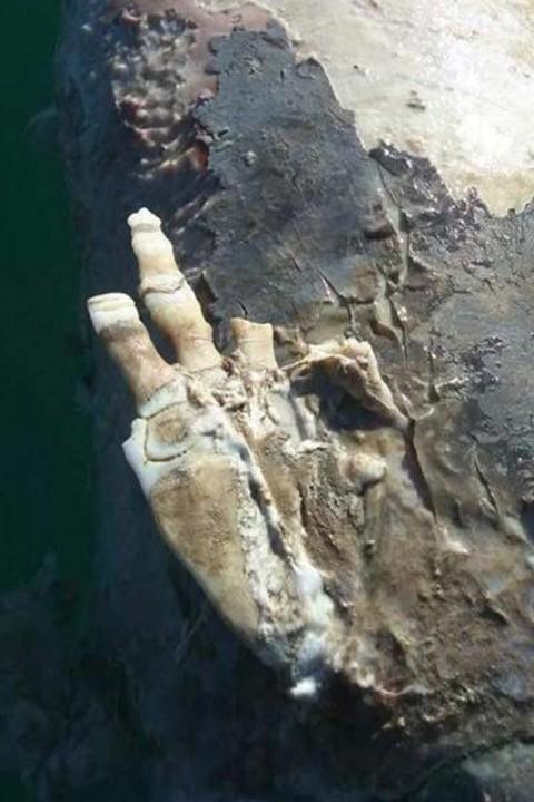 En el caso de la aleta se encontró polidactilia, que es una condición que se repite en todos los casos de necropsias de vaquitas marinas, que es el crecimiento de un sexto dedo, por un trastorno genético