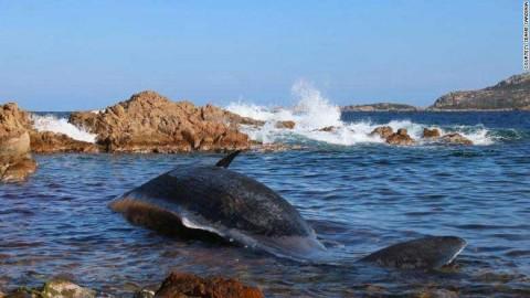Hallan un cachalote muerto con 22 kilos de plástico en Italia