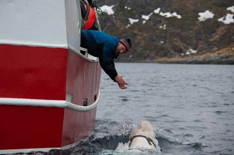Hallan una misteriosa ballena beluga que podría ser 'soldado' de Rusia