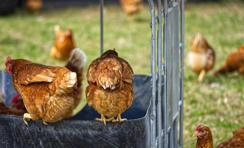 Modifican genoma de pollos para que resistan gripe aviar